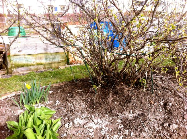 Kompostmullbärbuske