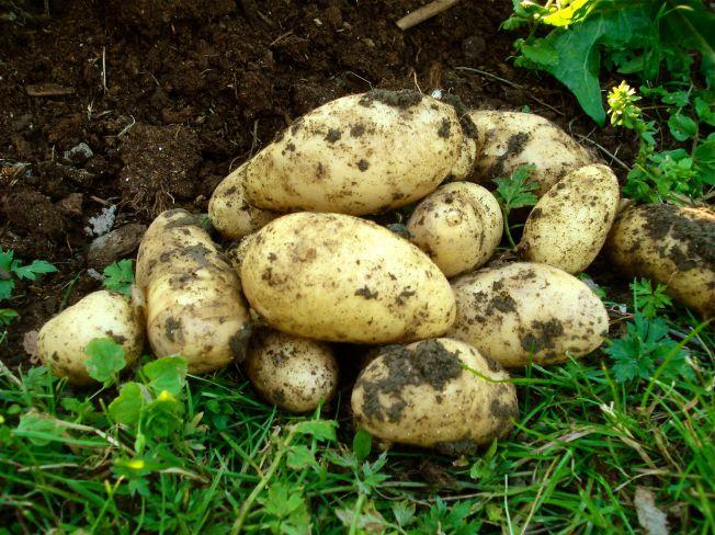 potatis2
