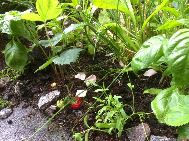 jordgubbbasilika